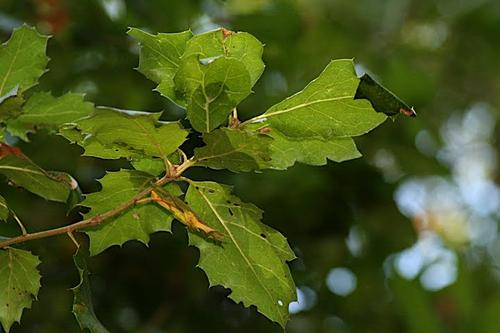 Oak Leaves From Montalvo's Grounds