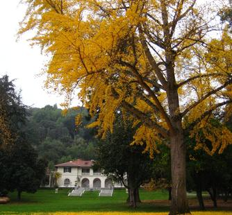 The Ginkgo tree turns golden in the fall.