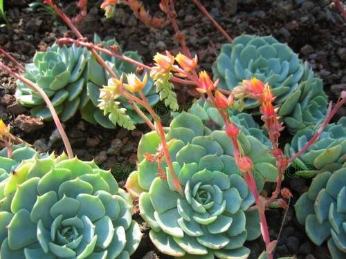 Hen and Chicks plant in the Cactus Garden