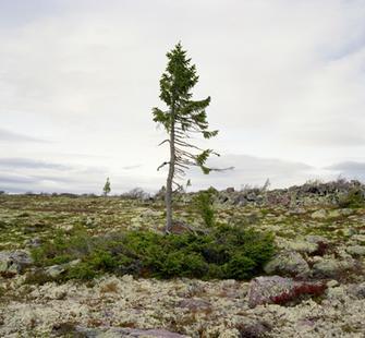 spruce gran picea #0909-6B37 (9,550 years old; fulufjället, sweden), by Rachel Sussman