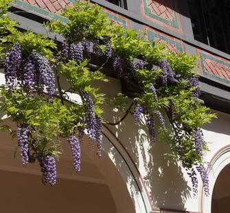Hanging flowers begin to bloom in the Spanish Courtyard.