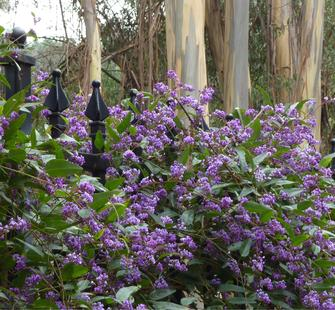 Hardenbergia along the fence of the Italianate Garden