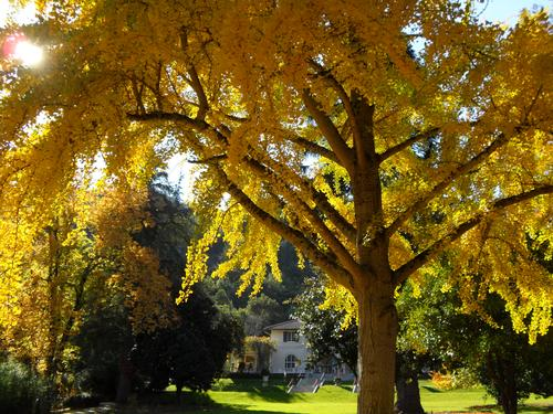The ginkgo tree on the Great Lawn