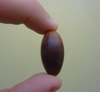 An Acorn.